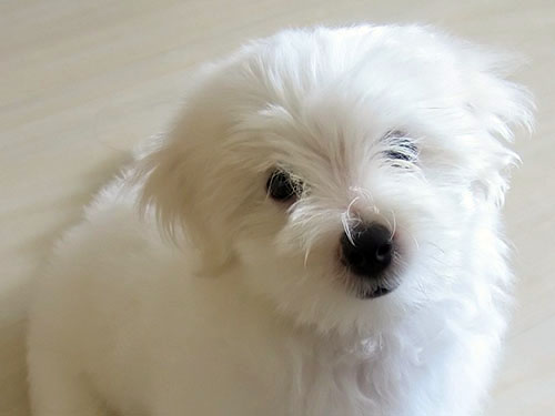 Non-Shedding Hypoallergenic Puppies - Hamilton, OH
