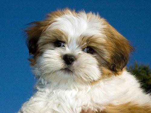 Non-Shedding Hypoallergenic Puppies - Hamilton, OH   Preferred Puppies